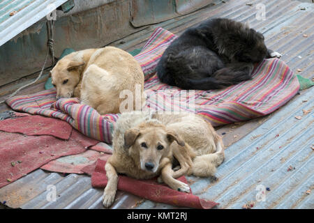 Indian street dogs sleeping on mats in Mcleod Gani. India has a huge population of stray dogs, many of them healthy - Stock Photo