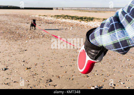 staffordhire bull terrier dog on a extentable leash, or lead on a beach on sand in kent, Minnis Bay, uk in winter - Stock Photo