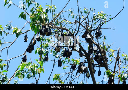 Colony of Spectacled flying fox or Spectacled Fruit Bat (Pteropus conspicillatus) Cairns Centre. It is a megabat - Stock Photo