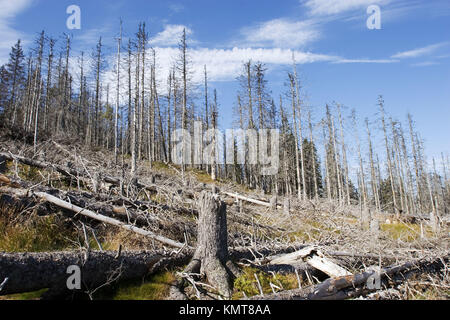 Dead spruces in National Park Bavarian Forest, Germany. - Stock Photo