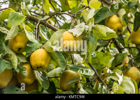 Yellow quinces and green leaves on a tree in the garden