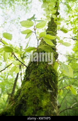 Green beech outbreak - Stock Photo