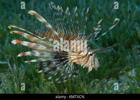 poisonous fish Red Lionfish(Pterois volitans) swim over bottom with sea grass in shallow water - Stock Photo
