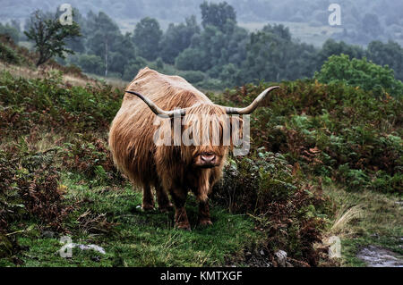 Highland cattle, Conic Hill, Scotland, United Kingdom - Stock Photo