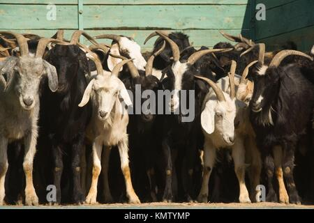 Tolkuchka bazaar, selling sheeps and goats, Ashgabat, Turkmenistan - Stock Photo
