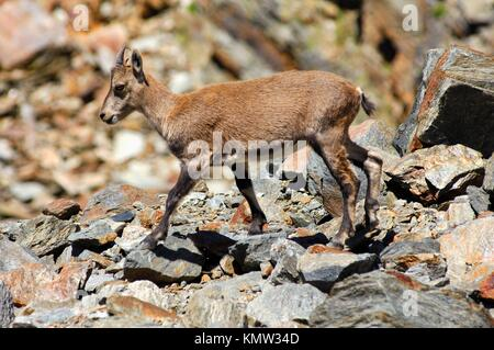 Young Alpine ibex Capra ibex standing in a scree-field, Alps savoie, Haute-Savoie, France - Stock Photo