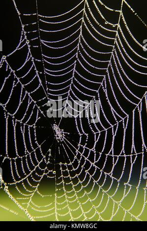 Spider web of an Araneid Spider with dew drops - Stock Photo