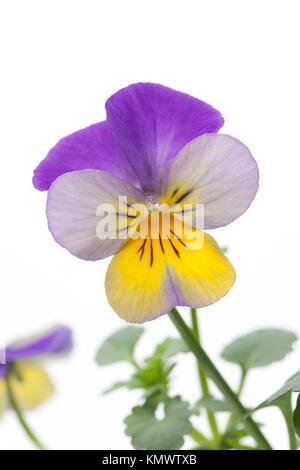 Viola cornuta on white background - Stock Photo