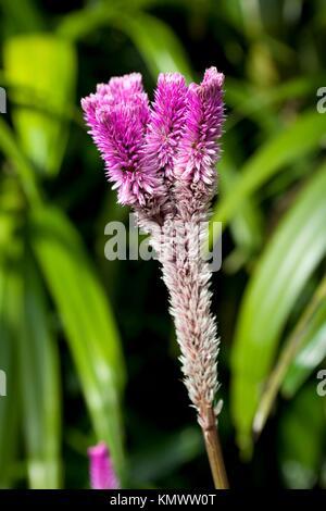 Purple Celosia Argentea - Stock Photo