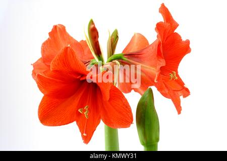 Amaryllis Hippeastrum hybr - Stock Photo