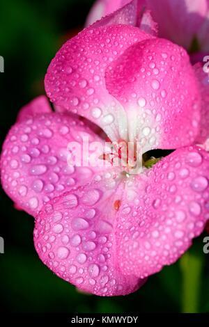 Dew on geranium flower Pelargonium zonale - Stock Photo