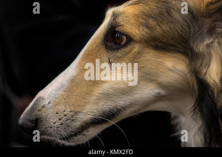 Borzoi Tri-color Sight Hound Show Dog Profile Portrait with Black Background - Stock Photo