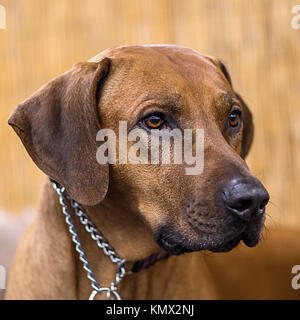 Rhodesian Ridgeback, African Lion Hound, Black Nose, Show Dog Portrait in Front of a Blurry Bamboo Backdrop - Stock Photo