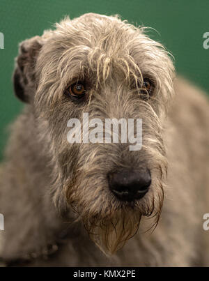 Irish Wolfhound Portrait, Oblique Profile, Green Background, Wirehair Show Dog Trim - Stock Photo