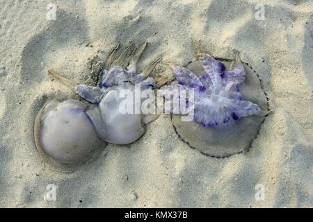 Dangerous jellyfish dead on beach shore sand in Mediterranean sea - Stock Photo