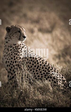 cheetah sitting in the masai mara reverse in kenya africa - Stock Photo