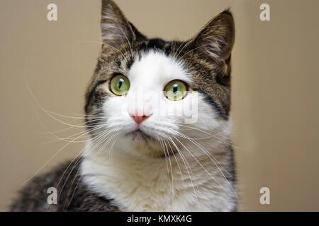 Tabby with white cat and bright green with yellow eyes looking  Head shot on beige like background - Stock Photo
