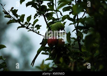 Ring-Necked Parakeet enjoying an Apple - Stock Photo