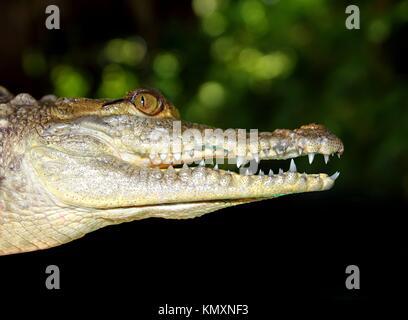 crocodile profile macro detail head portrait in dark background - Stock Photo