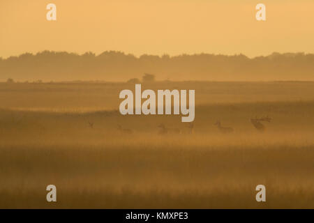Red Deer ( Cervus elaphus ), bellowing stag with herd, females, in open grassland during rutting season, moody backlight - Stock Photo