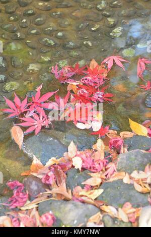 Macro details of fallen autumn Maple leaves around pond in Japanese garden - Stock Photo