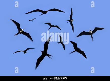 frigate bird silhouette backlight breeding season sky background - Stock Photo
