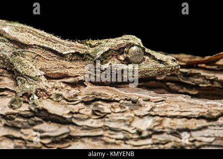 Gecko Uroplatus sikorae, (Gekkonidae), in perfect camouflage with a tree trunk, endemic to Madagascar, Anjozorobe - Stock Photo