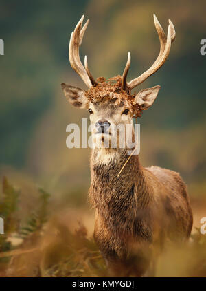 Isolated young red deer stag with a crown during the rutting season in autumn - Stock Photo