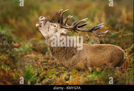 Red deer stag bellowing during the rut in autumn, UK. - Stock Photo