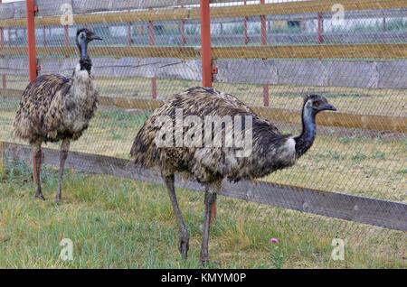 Emu Farm in their growing in Siberia, Russia - Stock Photo