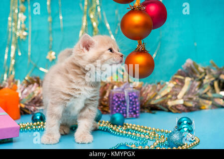Small British kitten beige color and Christmas decorations on a blue background - Stock Photo