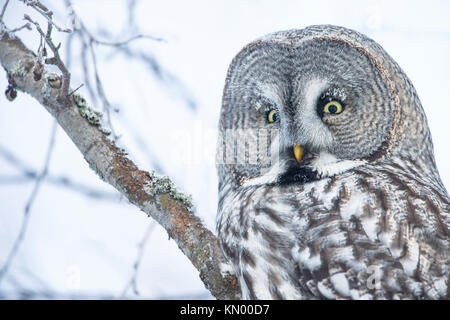 Close-up of a perching great grey owl in Finland, winter - Stock Photo