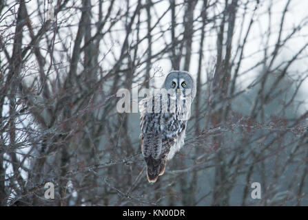 Great grey owl perching on a tree branch in winter, Finland - Stock Photo