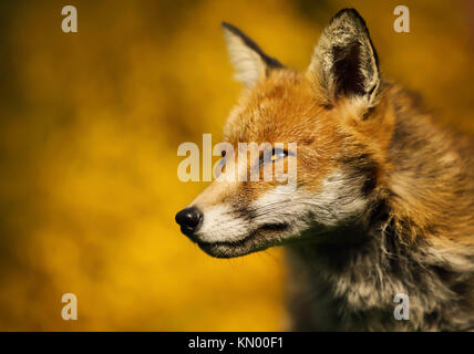 Isolated close up of an adult red fox portrait against colorful background, UK - Stock Photo