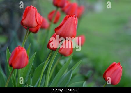 Red tulips (lat.: Tulipa gesneriana), the Didier's tulip or garden tulip in a garden - Stock Photo