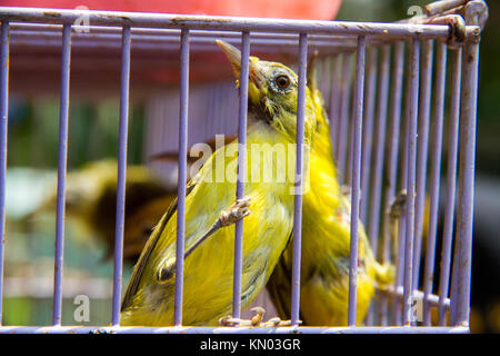 Bird clinging to bars of cage at bird market, Java, Indonesia - Stock Photo