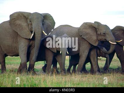 a family of elephants in Kenya - Stock Photo