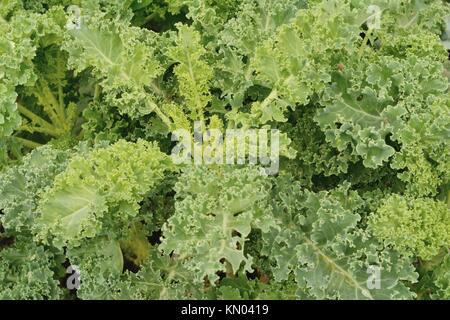 Organic curly-leaf kale (lat.:Brassica oleracea) in a garden - Stock Photo