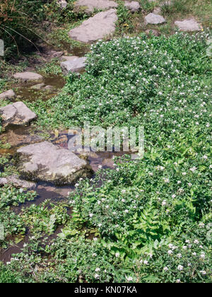 Watercress ( Nasturtium officinale ) Growing in a Stream, UK in Summer - Stock Photo