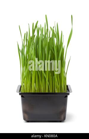 Organic wheat grass in plastic containeron white background - Stock Photo