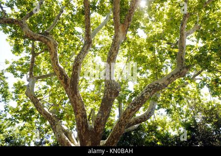 green plane tree in Avignon city, Provence region in France - Stock Photo