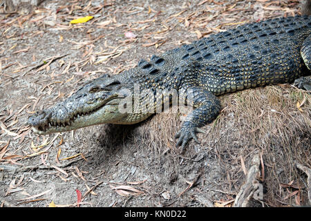 view of a large Estuarine  Crocodile at Hartley's Crocodile Adventures, Captain Cook Highway, Wangetti, Queensland, - Stock Photo