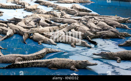 Crocodile Farm, at Hartley's Crocodile Adventures, Captain Cook Highway, Wangetti, Queensland, Australia - Stock Photo