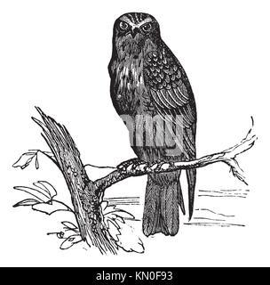 Eurasian Hobby or Falco subbuteo, vintage engraving  Old engraved illustration of Eurasian Hobby waiting on a branch - Stock Photo