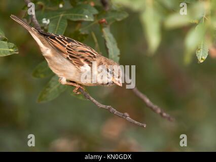 House sparrow passer domesticus sitting on a twig Athens Greece - Stock Photo