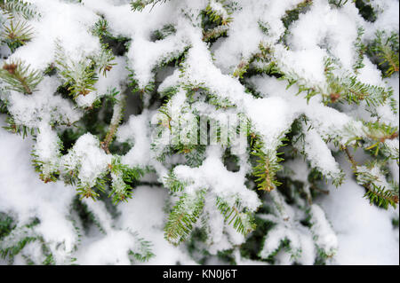 Winter background close-up of fresh snow collecting in the branches of young green pine trees - Stock Photo