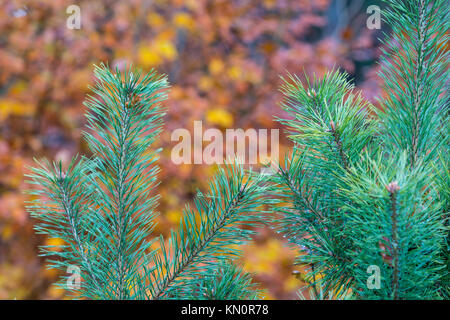 Tree branch in front of an orange Background, Forest, Close Up, Lower Austria, Austria - Stock Photo