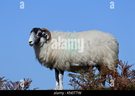 Scottish Blackface sheep standing in heather with a clear blue sky - Stock Photo