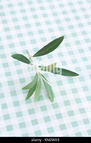 Olive tree twig - Stock Photo