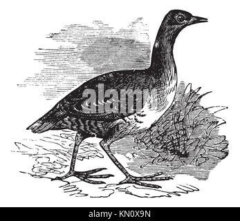 Corn Crake or Crex crex or Rallus crex or Corncrake or Landrail, vintage engraving  Old engraved illustration of - Stock Photo